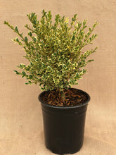 Load image into Gallery viewer, Shrub - Buxus sempervirens 'Variegated English Boxwood' (1 Gallon)