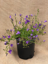 Load image into Gallery viewer, Perennial - Campanula 'Birch Hybrid' (1 Gallon)