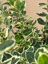 Load image into Gallery viewer, Shrub - Euonymus fortunei 'Emerald Gaiety' (1 Gallon)