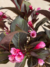 Load image into Gallery viewer, Shrub - Weigela coraeensis 'Burgundy Baby' (1 Gallon)