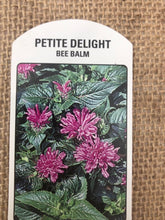 Load image into Gallery viewer, Perennial - Monarda 'Petite Delight' (4 Inch)