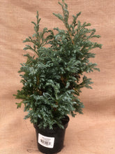 Load image into Gallery viewer, Shrub - Chamaecyparis 'Boulevard Cypress' (4.5 Inch)