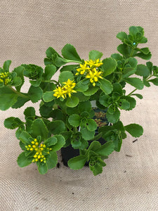 Ground Cover - Sedum 'Russian Stonecrop' (4 Inch)