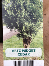 Load image into Gallery viewer, Shrub - Thuja occidentalis 'Hetz Midget' (1 Gallon)