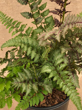 Load image into Gallery viewer, Fern - Athyrium 'Red Beauty Fern' (1 Gallon)