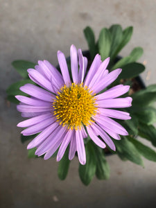 Perennial - Aster alpinus 'Beauty Mix Alpine Aster' (1 Gallon)