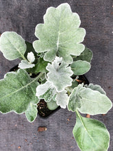 Load image into Gallery viewer, Annual - Senecio cineraria 'Silverdust Dusty Miller' (4 Inch)