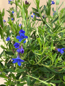 Ground Cover - Lithodora 'Grace Ward' (1 Gallon)