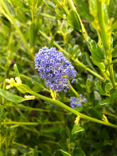 Load image into Gallery viewer, Perennial - Ceanothus 'Victoria California Lilac ' (1 Gallon)