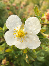 Load image into Gallery viewer, Shrub - Potentilla fruticosa 'Everest' (1 Gallon)