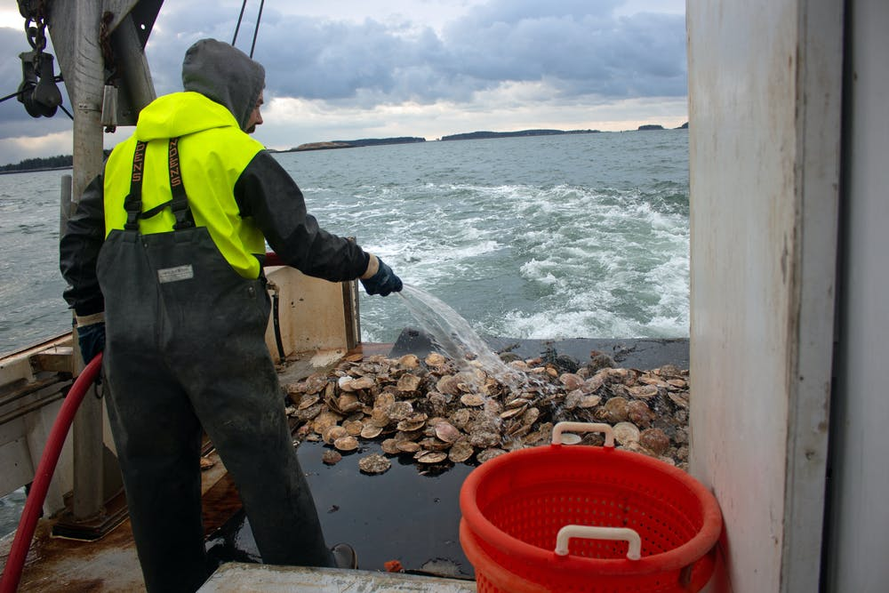 a man on a fishing boat rinsing off a pile of scallops with a hose
