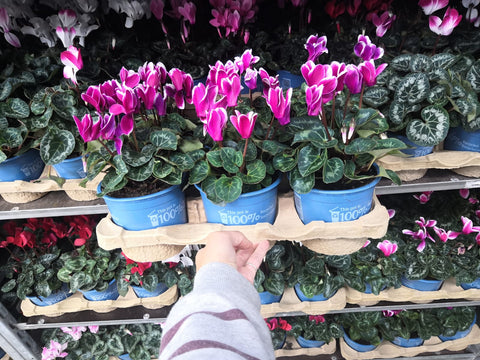13cm Midi-Cyclamen Tray of 8 Plants