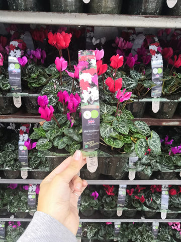 6x9cm Mini-Cyclamen x 3 packs