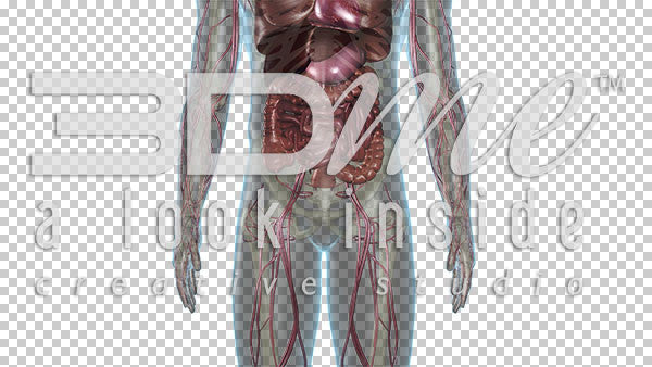 Circulatory System Lower Body 2