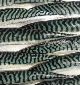 Mackerel : Fillet