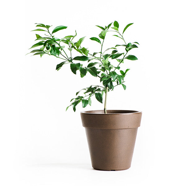 Meyer Lemon Tree 1G