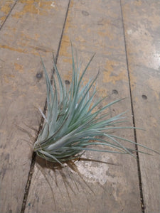 Airplant - Hourston enchanced