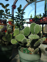 Load image into Gallery viewer, Cactus Opuntia Microdasys