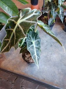 Alocasia Polly 4""