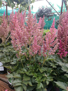 Astilbe - Little Visions in Pink