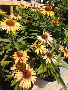 Coneflower - Big Kahuna