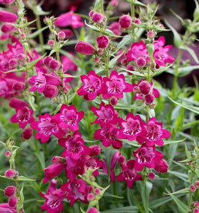 Beardtongue - Harlequin Pink