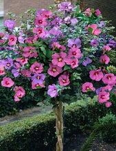 Load image into Gallery viewer, Hibiscus Tree