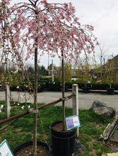 Load image into Gallery viewer, Cherry Pink Cascade WPG 20G
