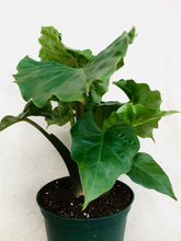 "Load image into Gallery viewer, Alocasia 6""(Lowrider)"