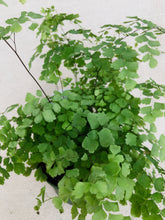 Load image into Gallery viewer, Maidenhair Fern 6""