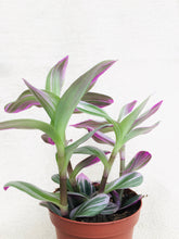 Load image into Gallery viewer, Tradescantia 4""