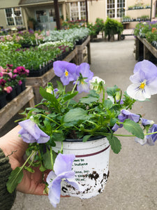 "Annual 5""(Trailing Pansy)"