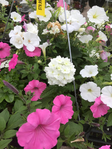 "Hanging Basket - 18"" Ultimate Mixed Wire Basket Sun Loving"