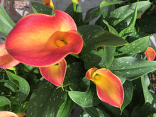 Load image into Gallery viewer, Calla Lily