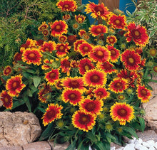 Load image into Gallery viewer, Gaillardia