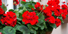 Load image into Gallery viewer, Geranium