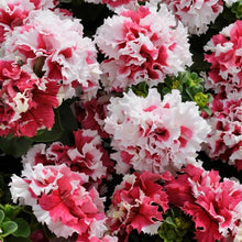 Load image into Gallery viewer, Petunia (Bedding Plant)