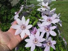 Load image into Gallery viewer, Clematis