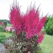 Astilbe chinensis - Might Chocolate Cherry