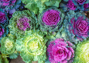 Flowering Cabbage and Kale