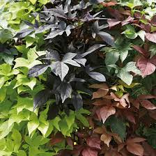 Sweet Potato Vine (Ipomea)