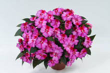 Load image into Gallery viewer, New Guinea Impatiens
