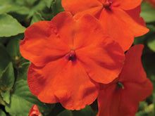Load image into Gallery viewer, Impatiens