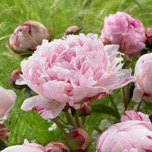 Load image into Gallery viewer, Peony (Paeonia)