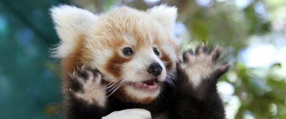 thumb sixth paw red panda