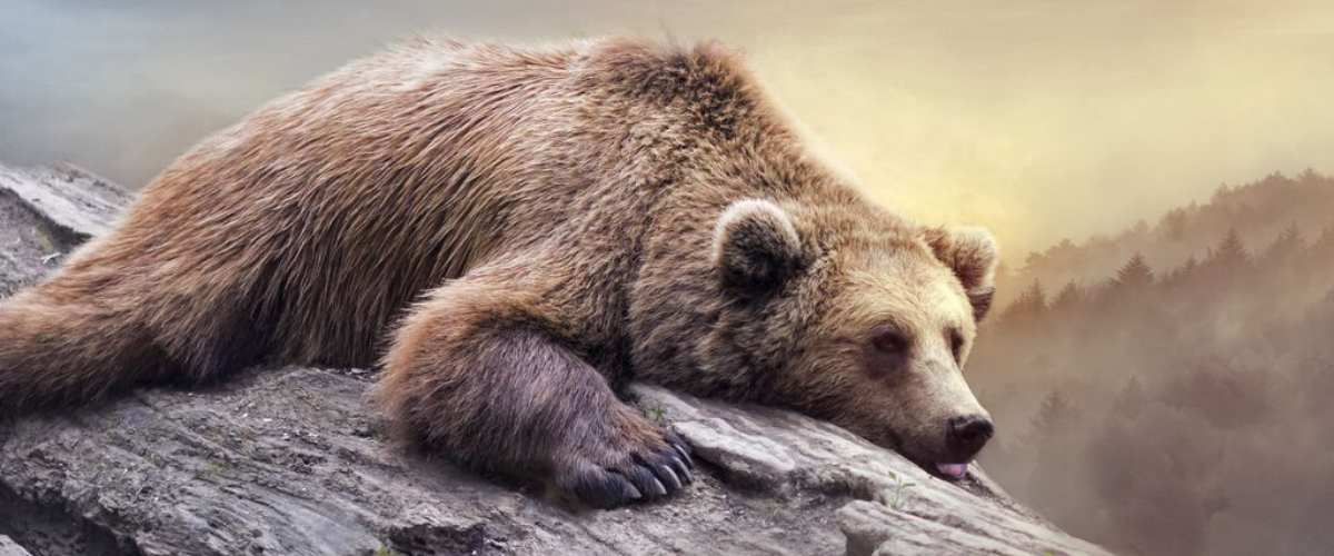 bear sleep