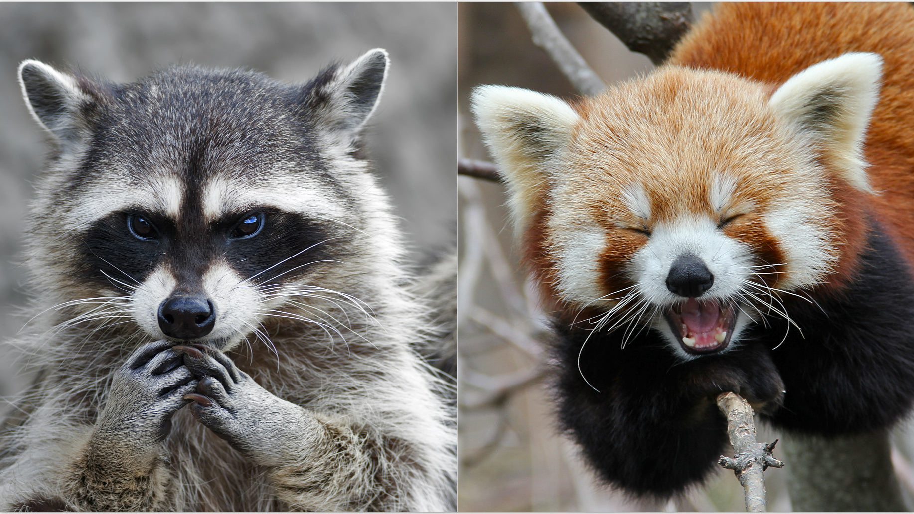 red panda and raccoon