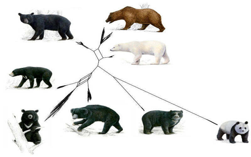 bear-evolution