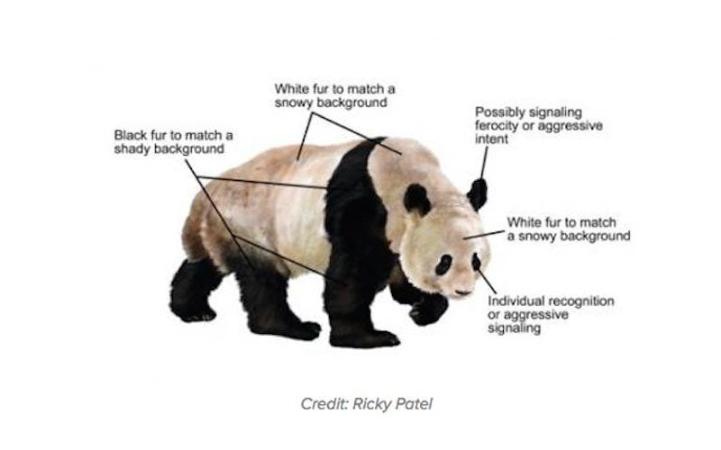 why-are-pandas-black-and-white