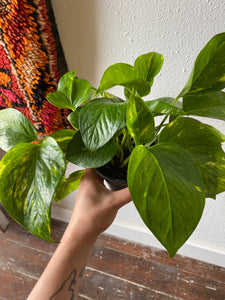 Golden Pothos, Choice of Size